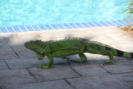 Courtyard Key West Waterfront: Poolside Resident - Iguana