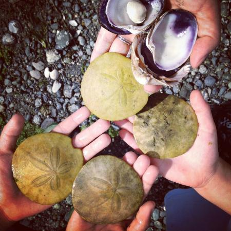 Cherry Point Place Oceanfront Suites: sand dollars and shell collecting
