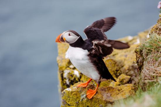 Latrabjarg, Islandia: Papageientaucher beim Balancieren