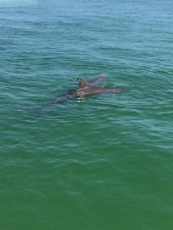 Isles of Capri Marina: Dolphins just off the side of the boat.