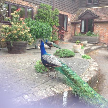 Bishopsdale Oast: Peacocks outside belong to next farm