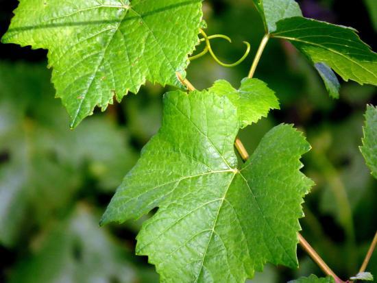 Pepper Bridge Winery: Grapevine