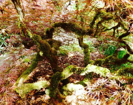 Kubota Garden: Old Japanese Maple