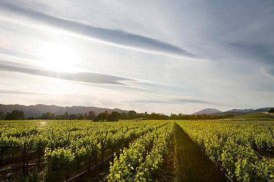 Honig Vineyard & Winery: Cabernet Vineyard