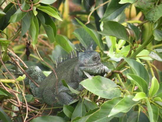 Résidence Les Hauts de Deshaies : iguane