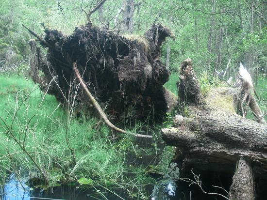 Black Spout Wood: Uprooted trunks