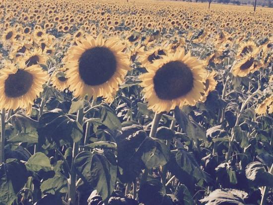 Country Inn Casa Mazzoni : Sunflowers near Casa Mazzoni