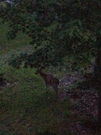 Eagle Village Resort: Deer seen from our balcony!