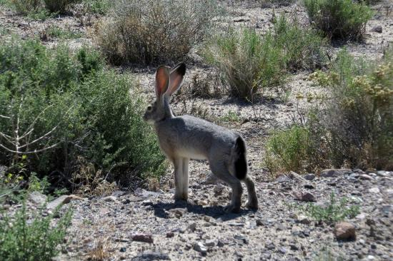 Silver Springs, NV: Jack Rabbit at Fort Churchill