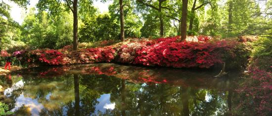 Richmond-upon-Thames, UK: Azaleas in full bloom
