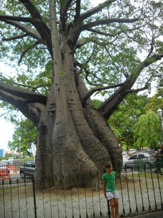 Baobá, árvore de origem africana