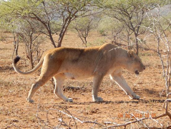 Mpila Camp: trächtige Löwin