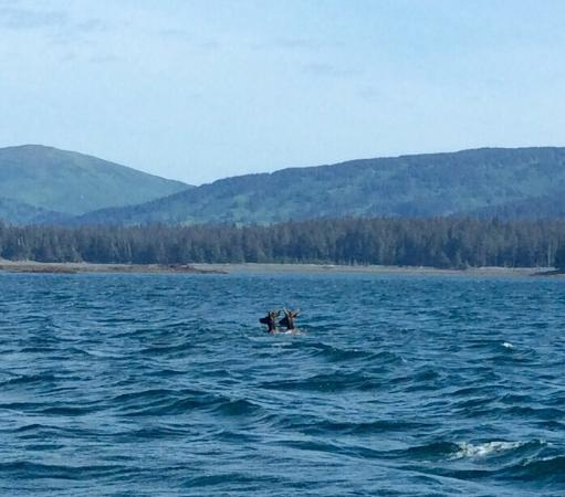 Big Timber Lodge: Awesome sight of two elk swimming to a nearby island