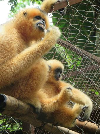 Cat Tien National Park Bungalows: Wild Gibbons visiting rescue centre