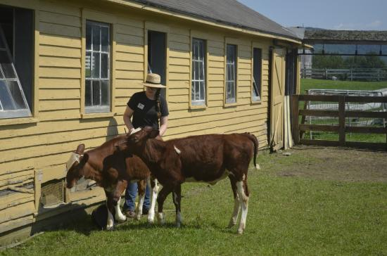 Pittsfield, MA: The young animals at the dairy barn