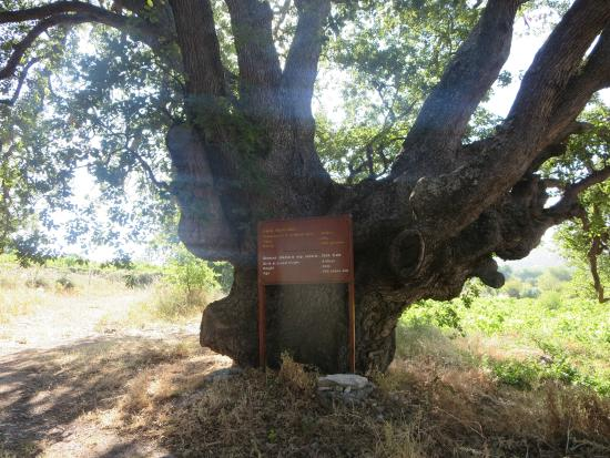 Limassol District, Cyprus: Giant Oak