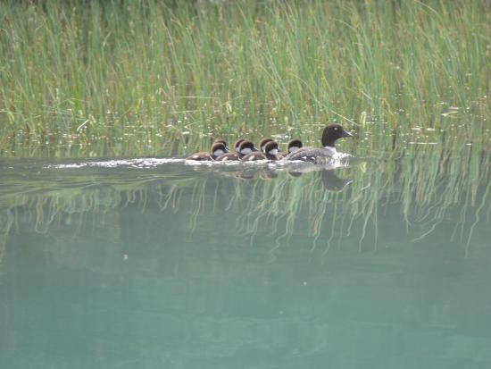 Waterfowl Lake Campground: Duck family