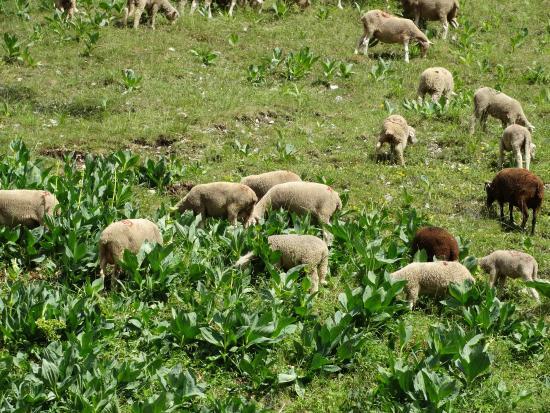 Le Sareymond: Nog meer schapen...