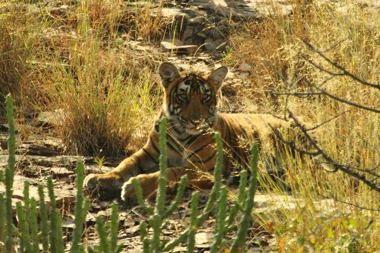 Ranthambore National Park: T19 Cub