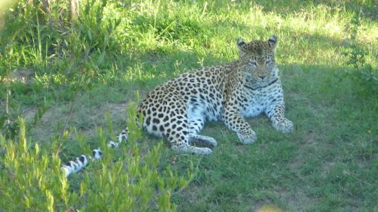 Shamwari Game Reserve: ..a rare sighting of a leopard..