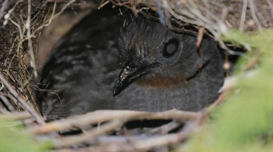 Tathra Beach House: A nesting lyre bird on site.