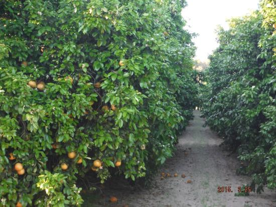 Weirsdale, FL: Rio red grapefruit trees.