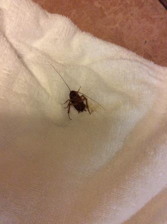 Stanford Inn & Suites: Roaches!