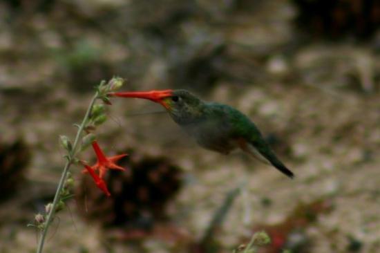 Valles Caldera National Preserve: Hummingbird having lunch