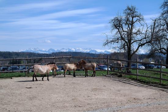 Wildnispark Zürich Langenberg: Лошадь Пржевальского