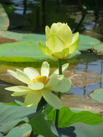 American Lotus Picture Of Historic Blakeley State Park Spanish