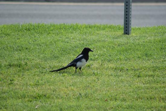 Hampton Inn & Suites Carson City : Magpie on the front lawn
