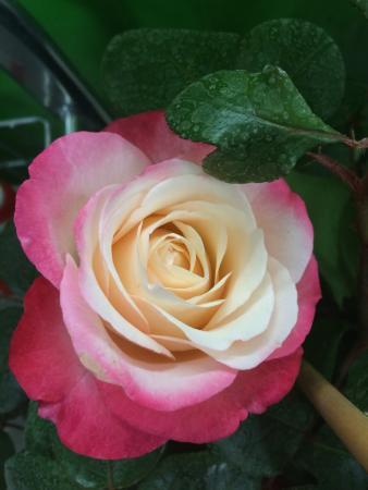Europa Rosarium: Es sind wunderschöne Rosen mittlerweile habe ich 120 verschiedene Rosen , aber was man hier im R