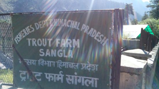 Sangla, India: Trout farm
