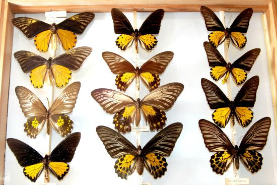 Ilfracombe Museum: Drawers of butterflies from South America