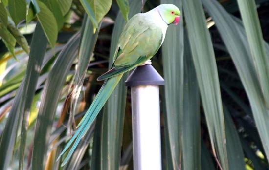 Keslake Towers B&B: Our local parrots in the garden