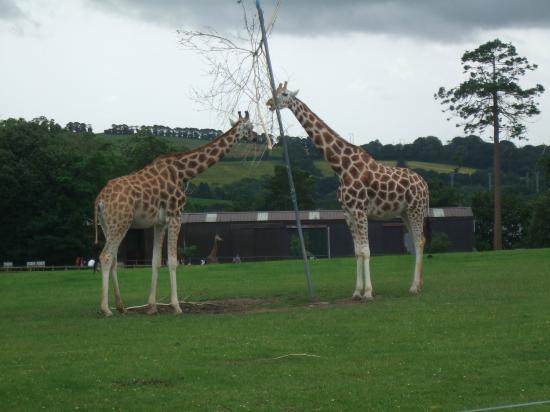 Fota Wildlife Park: Giraffe