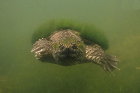 Starbuck, MN: Snapping turtle near the fishing dock