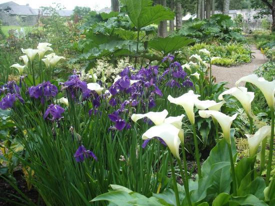 Purple Flag Iris And White Calla Lilies Picture Of Aberglasney