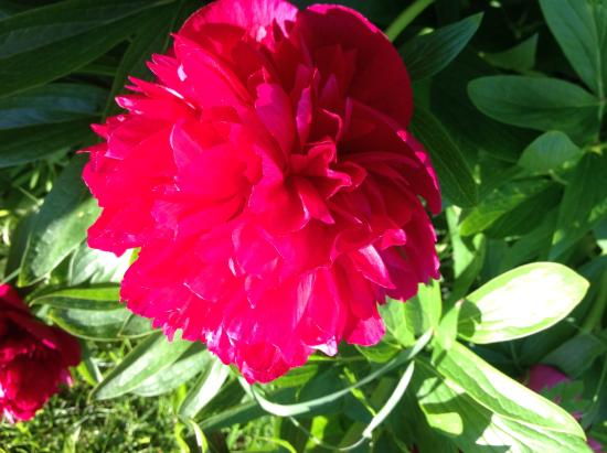 Rooms at Elmbank: Peonie rose in the garden
