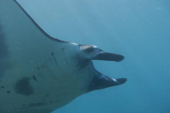 Paradise Diving Bali - Deutsche Tauchschule: Manta am Manta-Point