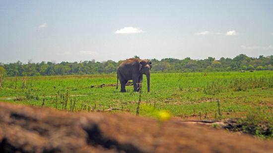Panama Village Resort, Arugambay : elefante que me encontre a 5 minutos...