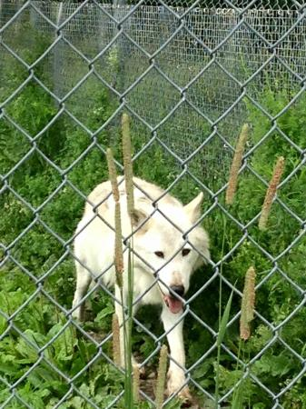 Wolf Mountain Nature Center: She's super friendly toward people but not so much female wolves :)