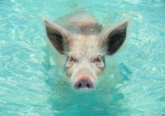 Exuma Cays Adventures: Schweine...