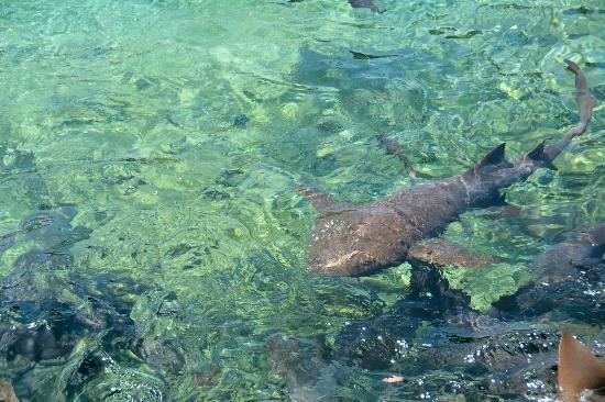 Exuma Cays Adventures: Ammenhaie