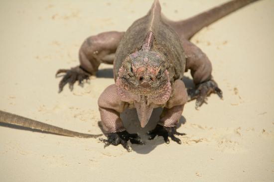 Exuma Cays Adventures: Leguan (bissig)