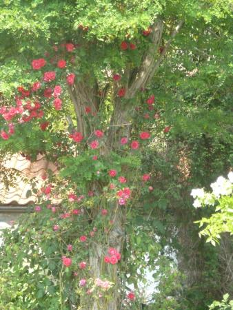 Carr House Farm Bed and Breakfast: Beautiful roses all around the garden. This one is climbing up and acacia tree