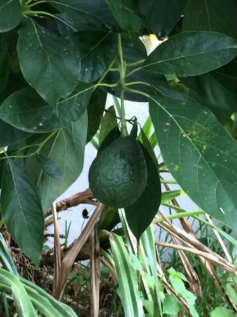 La Casa Colibri: Avocado on grounds