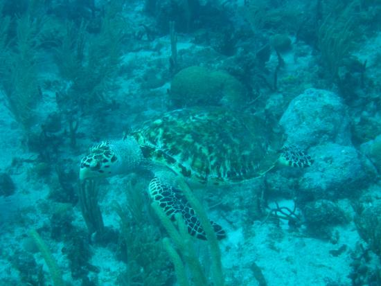 Grand Case, St-Martin / St Maarten : Turtle