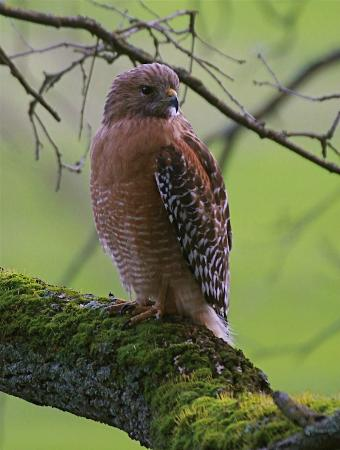 Carmichael, CA: Red-shouldered Hawk
