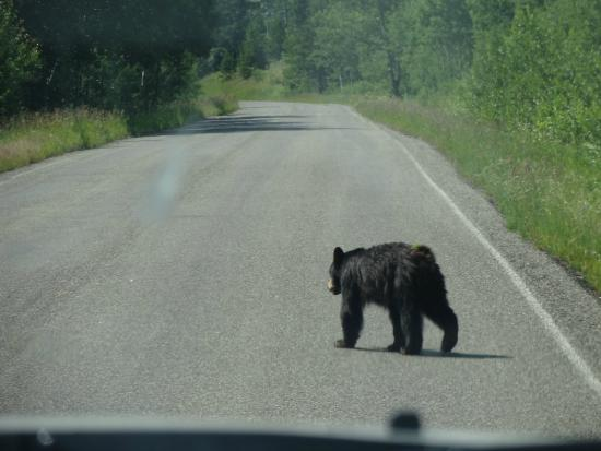 Two Medicine Campground: One of two black bears seen during our stay